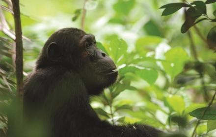 PArco del Mahale Scimpanzè -