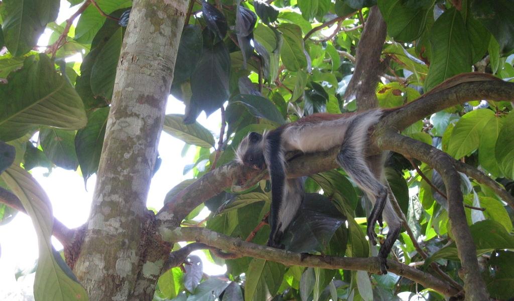 La scimmia red colobus