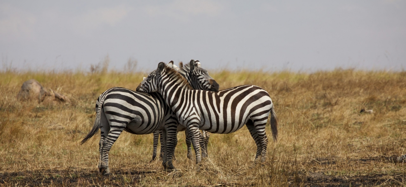 2 zebra on brown grass field during daytime