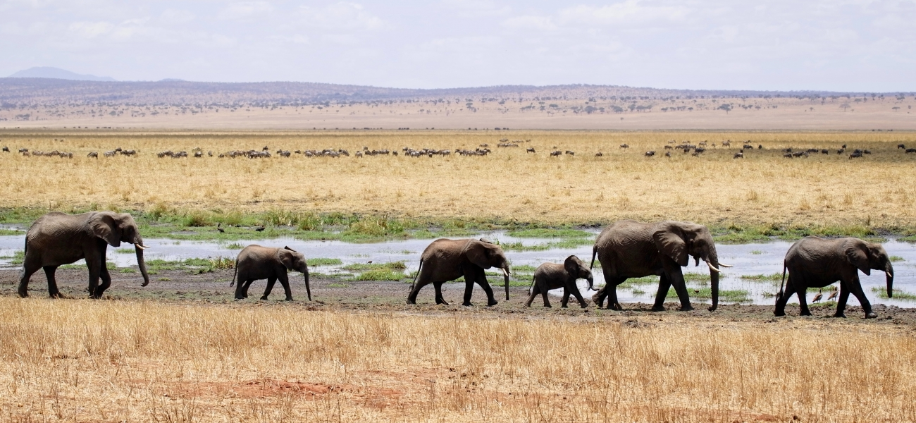 herd of gray elephants