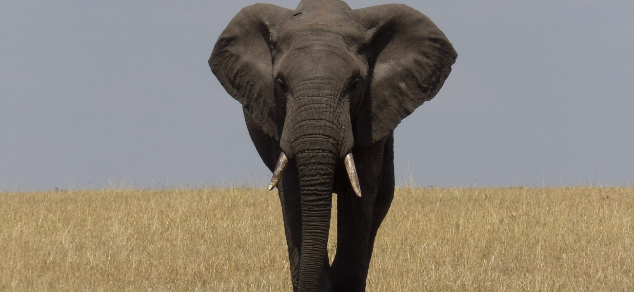 grey elephant on brown grass field during daytime