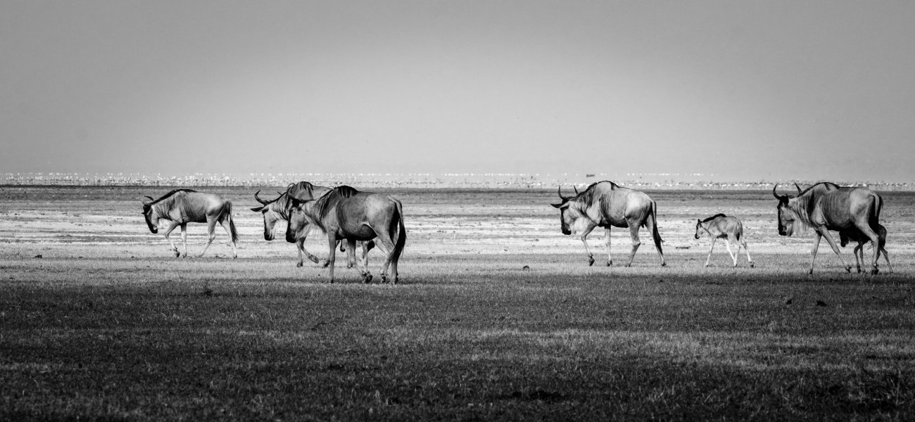 grayscale photography of wildebeests on ground