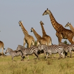group of giraffes and zebras